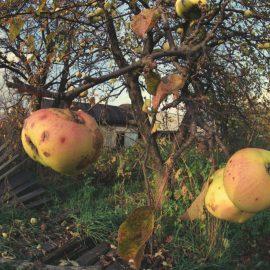 עץ תפוחים בקרבת צ'רנוביל, אוקראינה, 1990 (Igor Kostin/Sygma via Getty Images)
